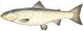 Pesca del Carpione