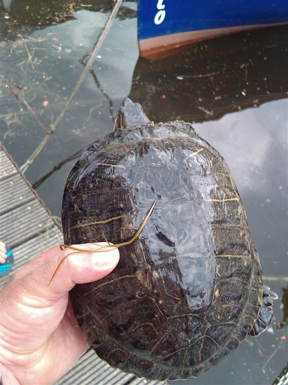 Anche le tartarughe nel garda la combriccola del garda for Lago per tartarughe