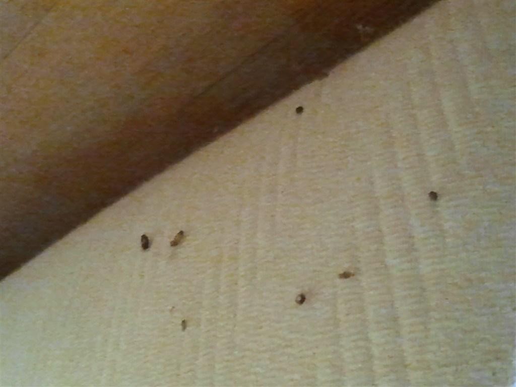 Sono cimici da letto pestforum - Immagini cimici da letto ...