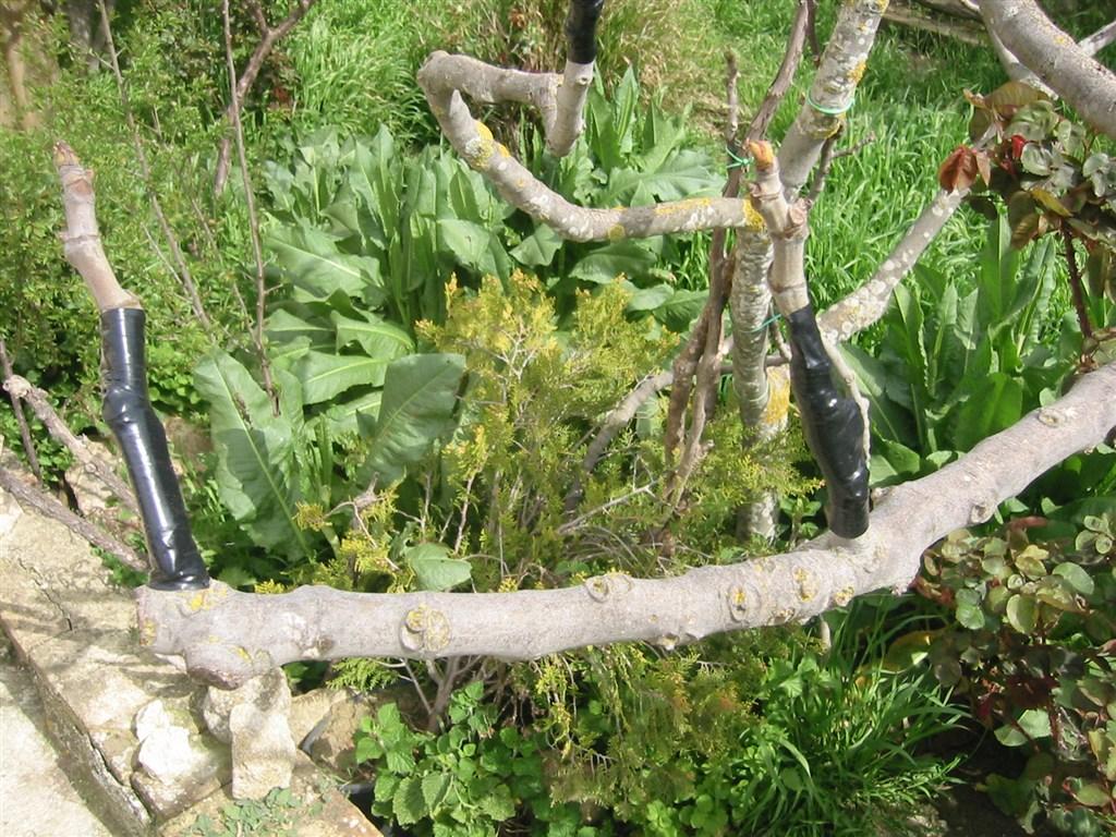 Innesti arborei - Tutela e Recupero razze
