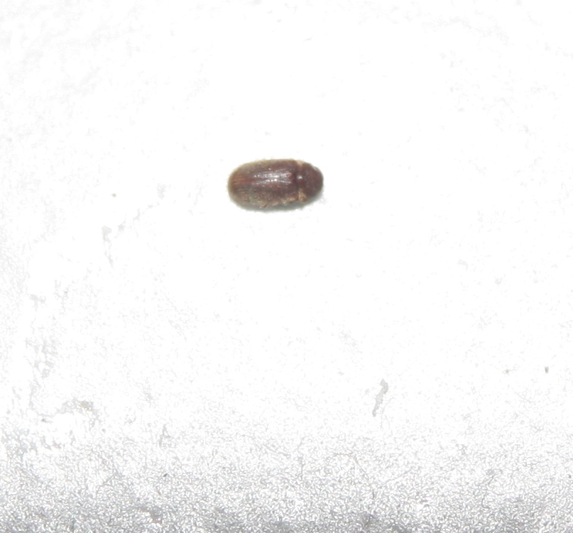 Strani insetti soprattutto in cucina pestforum for Formiche volanti in casa