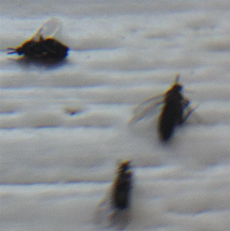 Moscerini neri con foto pestforum - Moscerini neri in bagno ...