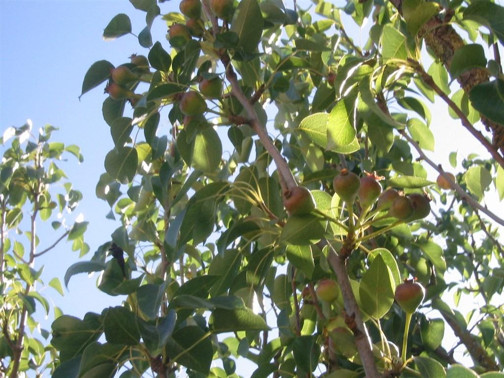 Piante di pero pero concimi e fertilizzanti per la cura for Elenco alberi da frutto