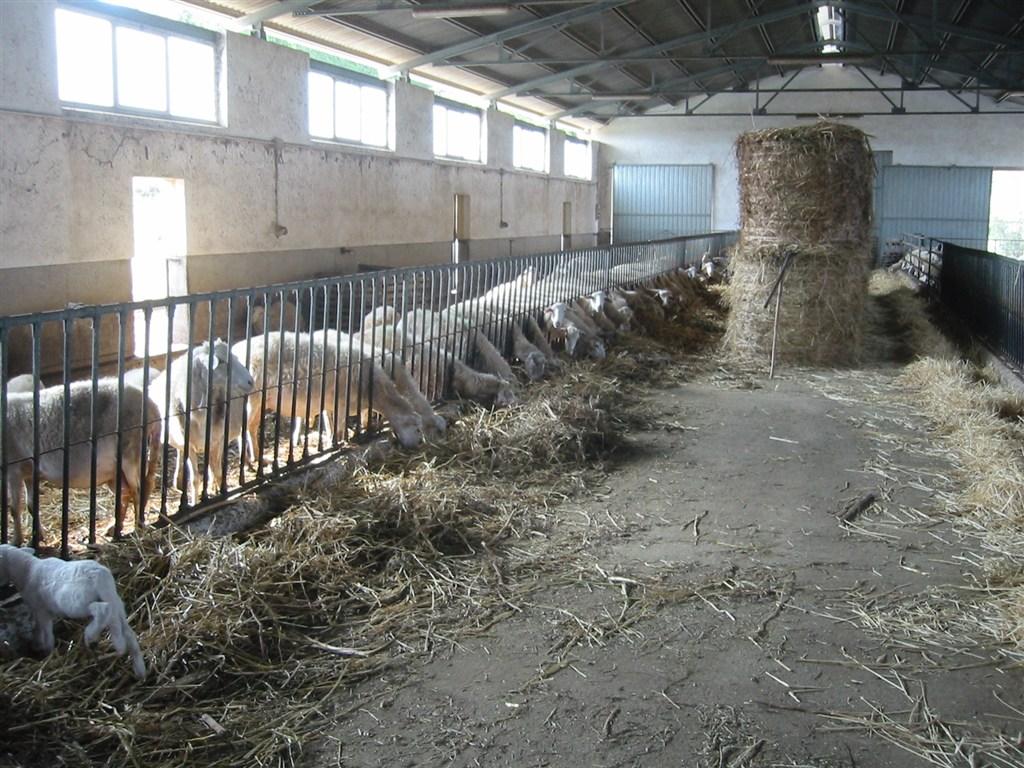 Gli ultimi cani di mannara o cani da pastori siciliani for Come costruire un capannone moderno