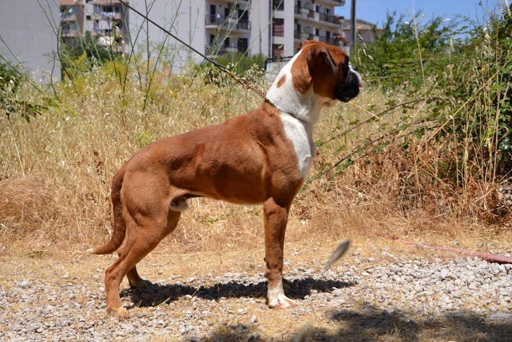 vi presento sikili diamante - boxerforum