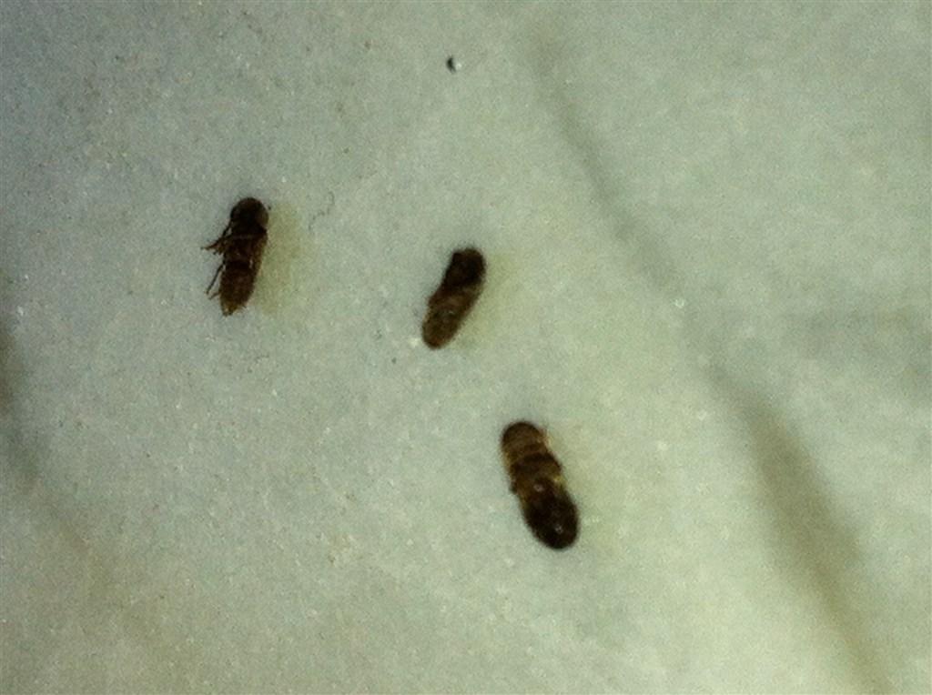Piccoli insetti marroni volanti mi hanno infestato la casa - Insetti neri in casa ...